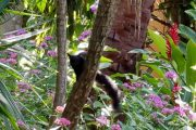 Black squirrel in Boquete gardens